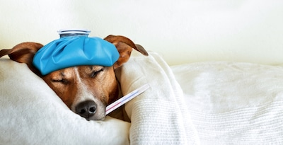Dog sick in bed in Conway Arkansas