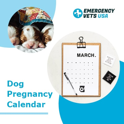 Dog Pregnancy Calendar-When is your dog due