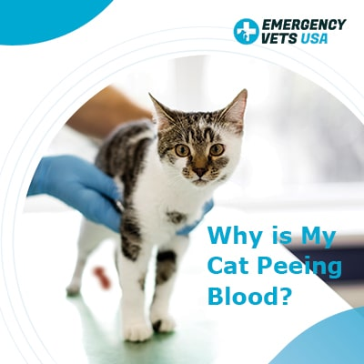Why Is My Cat Peeing Blood What To Do About Blood In Cat Urine