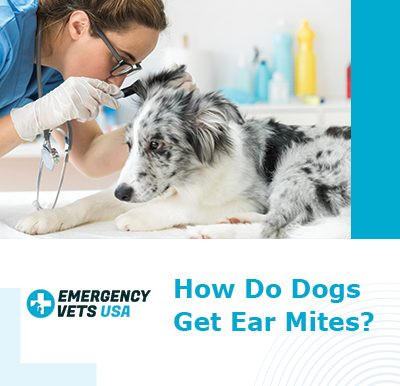 Dogs Get Ear Mites