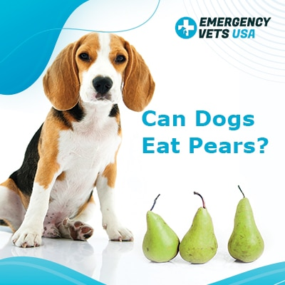 Can Dogs Eat Pears? In Moderation Pears