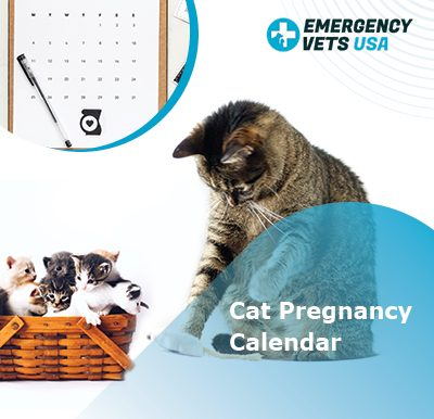 Feline Pregnancy Calendar