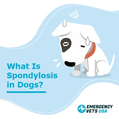 What Is Spondylosis In Dogs
