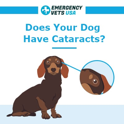 Does Your Dog Have Cataracts