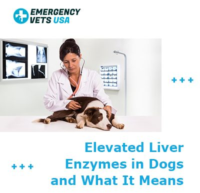 Elevated Liver Enzymes in Dogs