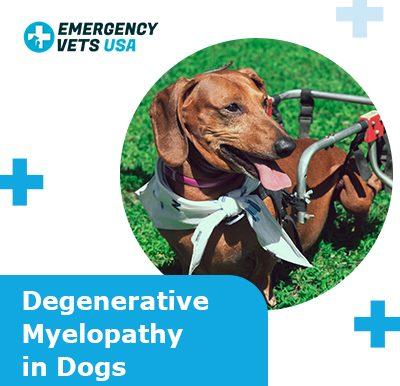 Degenerative Myelopathy Dogs