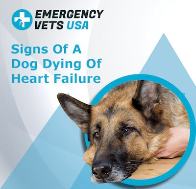 Dog Dying Of Heart Failure