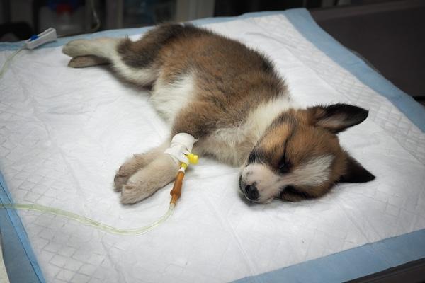 Puppy With Parvovirus Getting an IV