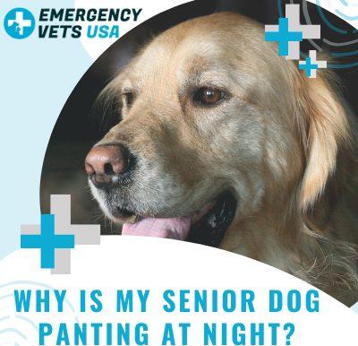 Senior Dog Panting At Night