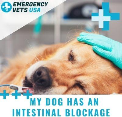 Dog Has An Intestinal Blockage