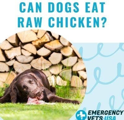 Dogs Eat Raw Chicken