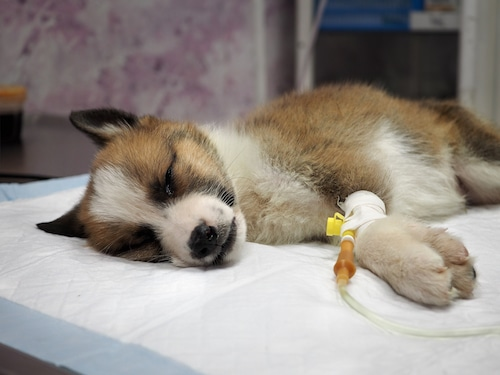 How to treat parvovirus in dogs - dog with an IV