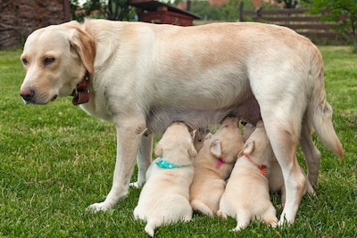 Labrador with her new puppies after being pregnant for 63 days